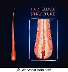 follicule cheveux, closeup