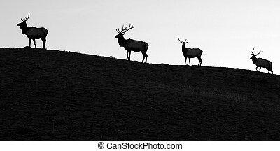 Follow The Leader - Four silohetted elk head across a...