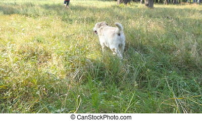 Following a dog running in the field for young man. Labrador or golden retriever jogging behind his male owner outdoor at nature and wagging tail. Rear back view
