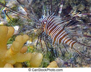 Following a lionfish