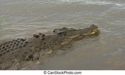 Following A Swimming Saltwater Crocodile - Handheld,...