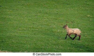 Following Lamb Running Across Grassy Field - Tracking shot...