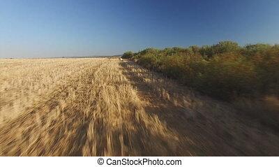 Following Pointer pedigree dog in wheat field - Fast follow ...