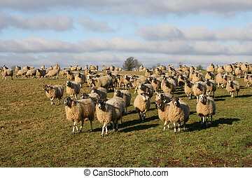 following sheep herd - I was walking in Northamptonshire ...