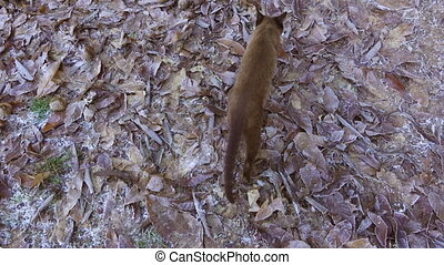Following siamese cat in winter - top view of siamese cat...