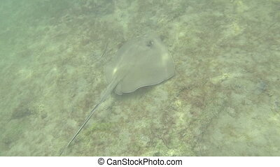 Following Stingray underwater - Following Southern stingray...