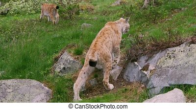 Following two european lynxes walking in the forest - Camera...