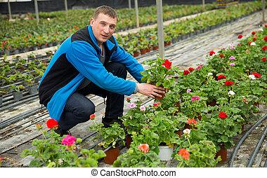 fonctionnement, fleurs, crane's-bill, serre, homme, jardinier