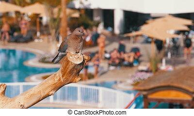 fond, égyptien, hôtel, pigeon, branche, séance, piscine, natation