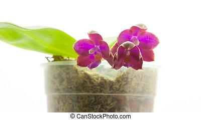 fond, beau, rare, pot, blanc, orchidée