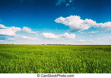 fond, blé, vert bleu, oreilles, champ, ciel