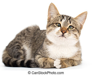 fond blanc, chat