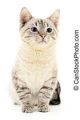 fond blanc, chaton