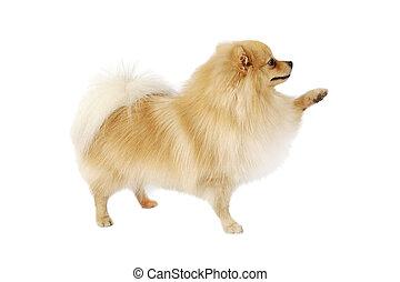 fond blanc, chien, pomeranian, isolé