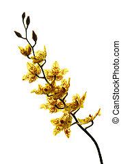 fond blanc, isolé, jaune, orchidée