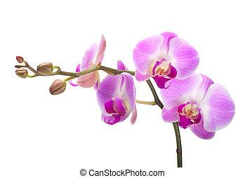 fond blanc, orchidée
