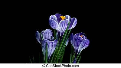 fond, crocus, paques, fleurir, plusieurs, noir, transparence, alpha, fond, isolé, violet, canal, printemps, chronocinématographie fleurit, grandir