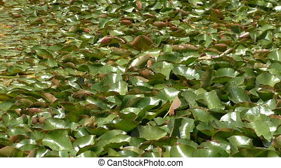 fond, feuilles, grenouilles