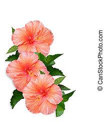 fond, fleurs, blanc, hibiscus