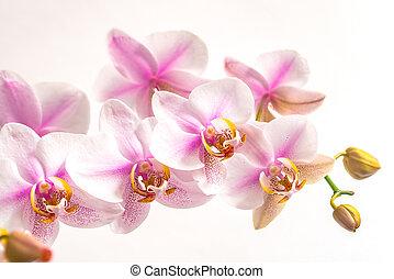 fond, isolé, orchidée, fleurs, blanc, closeup, rose, lumière