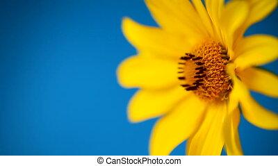 fond jaune, fleur, bleu, été, fleurir, pâquerette, isolé