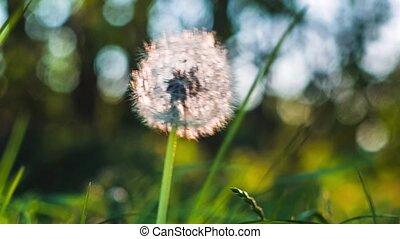 fond, pissenlit, soleil haut, jouer, mouvement, éclats (flares), bokeh, graines, brise, bas, lumière, fin, tomber, entendu, rond, vent