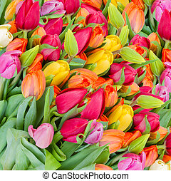 fond, printemps, tulipes