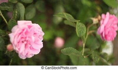 fond, rose rose, fleur, beau, vert