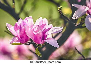 fond, sombre, parc, fleur, magnolia