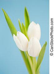 fond, tulipes, bleu, trois, blanc