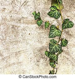 fond, vieux, mur, et, lierre, feuilles