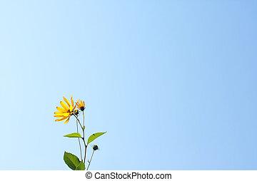 fondo azul, con, salvaje, flor amarilla