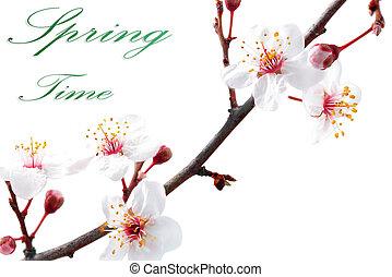 fondo., bianco, isolato, ramo, blossoms.