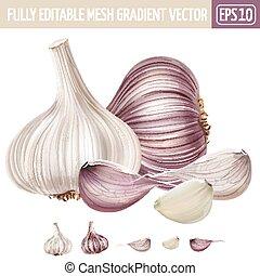 fondo., bianco, vettore, aglio, illustrazione