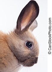 fondo blanco, aislado, conejo