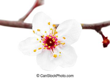 fondo., blanco, aislado, rama, blossoms.