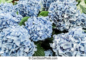 fondo., cima, disposizione, blu, ortensia, fiore bianco, vista, appartamento