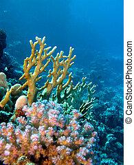 fondo, coral de fuego, duro, arrecife, corales
