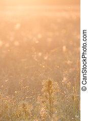 fondo dorado, luz del sol, meado