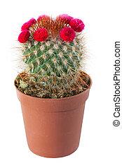 fondo., fioritura, cactus, isolato, bianco