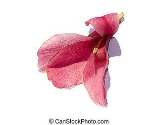 fondo., flor rosa, tiro, blanco, indio