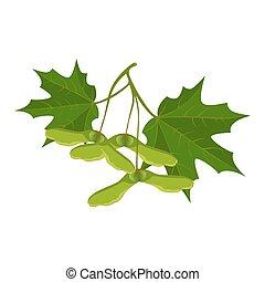 fondo., hojas, aislado, samara, realista, vector, blanco,...