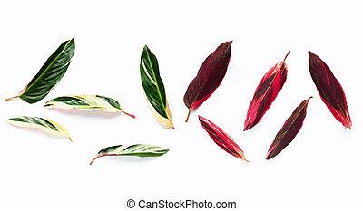 fondo., hojas, calathea, blanco