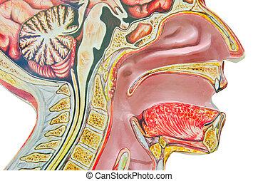 fondo, isolato, contro, anatomico, umano, modello, bianco