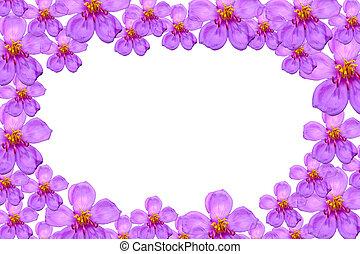 fondo., púrpura, l., aislar, subsp., malabathricum, salvaje, flores blancas, melastoma