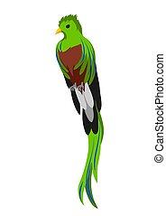 fondo., quetzal., illustrazione, bianco, uccello esotico, ...