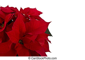 fondo rojo, aislado, flor de nochebuena, navidad