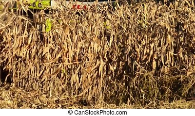Food factory, Food, Cerea-Tractor is dumping wheat grains,...