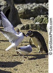 Food Fight. Gull versus penguin standoff