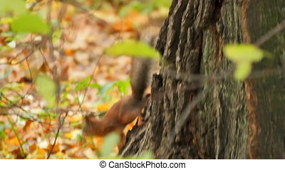 Food of the squirrel, sequence